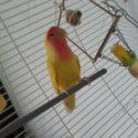 Se busca pájaro agaporni amarillo y naranja. Ofrezco 200 euros